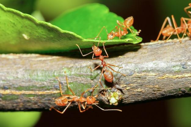 Grupa czerwona mrówka na kij drzewo w przyrodzie w lesie