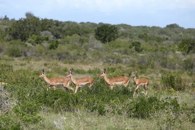 Grupa czterech gazel stojących w rzędzie na środku pola porośniętego trawą i drzewami