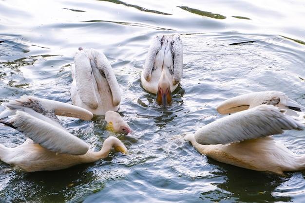 Grupa czterech różowych pelikanów pływających w wodzie i łowiących ryby