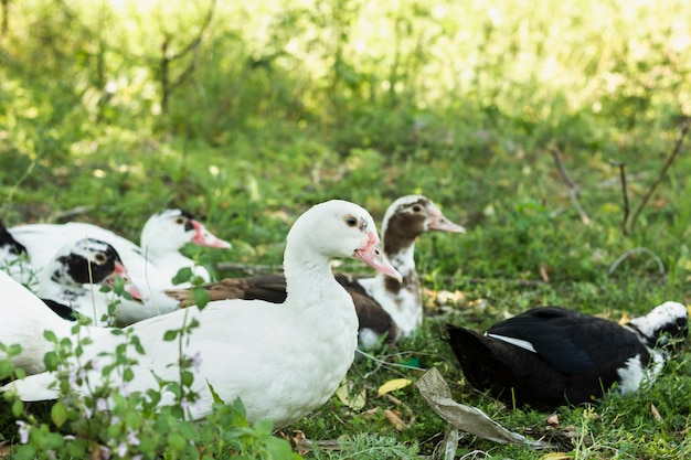 Grupa domowych kaczek w przyrodzie