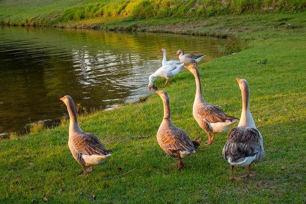 Grupa dużych kaczek na trawie w pobliżu jeziora.