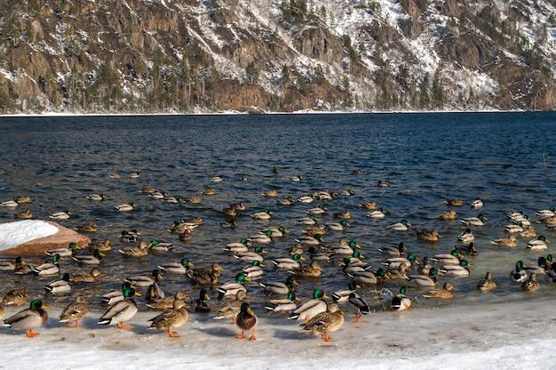Grupa dzikich kaczek w pobliżu lodowatego stawu