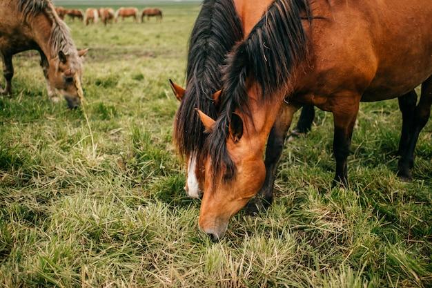 Grupa dzikich koni na pastwiska jedzenia trawy