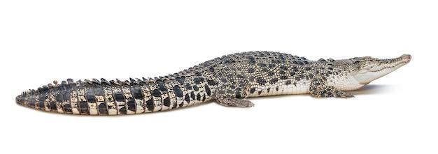 Grupa dzikich krokodyli na białym tle