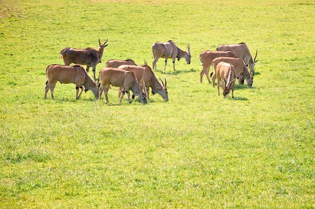 Grupa elands antylopy je w zielonej prerii