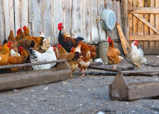 Grupa ferma drobiu kurczaka zbliżenie