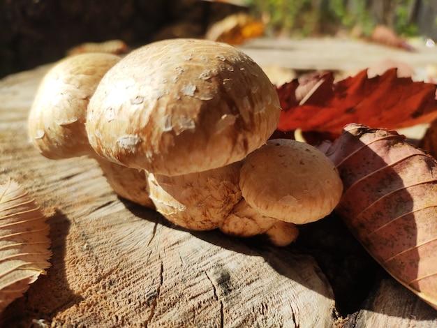 Grupa grzybów oświetlonych słońcem - boczniak cytrynowy rosnący na starym pniu drzewa w lesie.