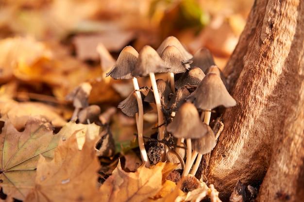 Grupa grzybów trujących rośnie na jesiennych liściach w pobliżu drzewa. muchomor perkoz grzyb bajkowy tło