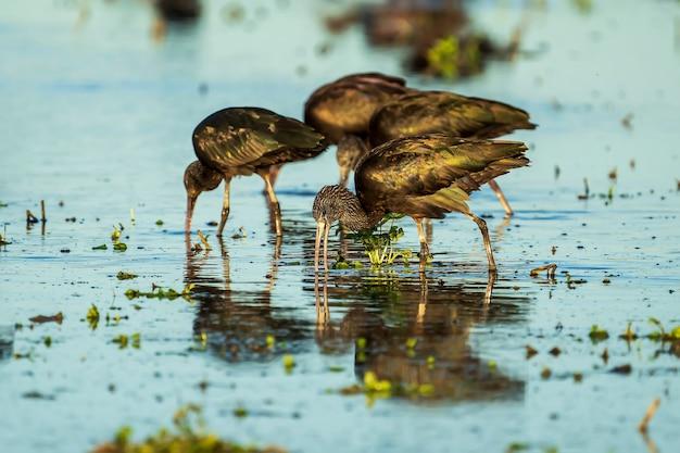 Grupa ibis błyszczący (plegadis falcinellus) na polu ryżowym w parku przyrody albufera w walencji, walencja, hiszpania.