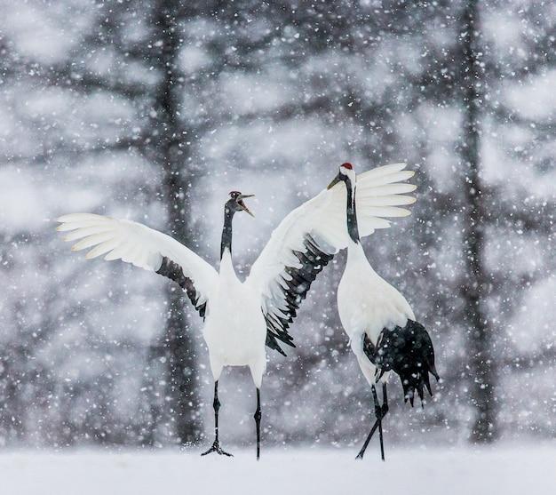 Grupa japońskich żurawi idzie w śnieżycy