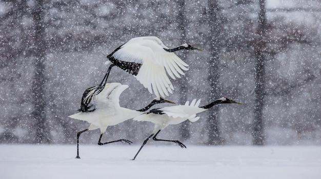 Grupa japońskich żurawi leci w śnieżycy