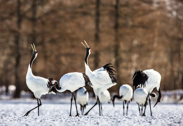 Grupa japońskich żurawi stoi na śniegu