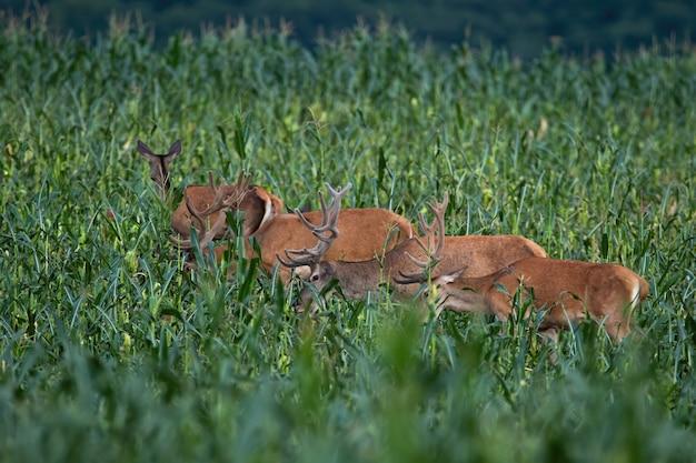 Grupa jeleni jeleń na polu kukurydzy