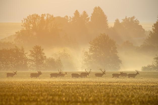 Grupa jeleni jelenie na polu z lasem