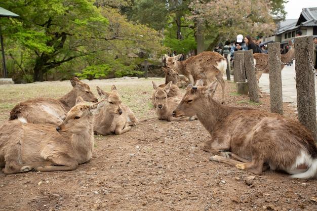 Grupa jeleni leżących na ziemi