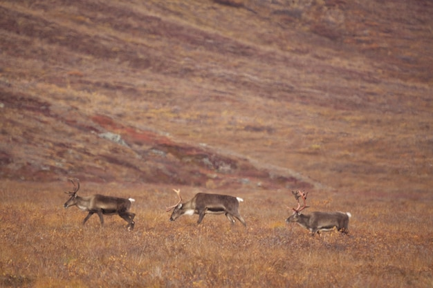 Grupa jeleni wędrujących po bramach arktycznego parku narodowego