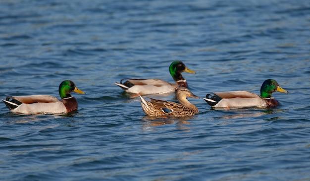 Grupa kaczek krzyżówek pływanie w stawie w ciągu dnia