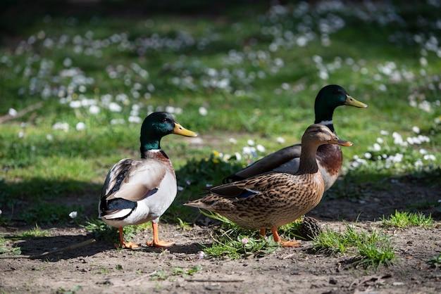 Grupa kaczek krzyżówek w parku