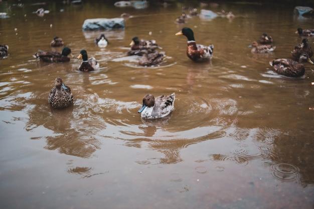 Grupa kaczek na wodzie