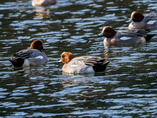 Grupa kaczek świstunek pływających po jeziorze w lesie izumi w yamato