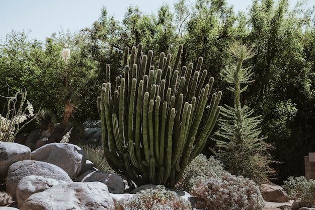 Grupa kaktusów kardonowych w parku