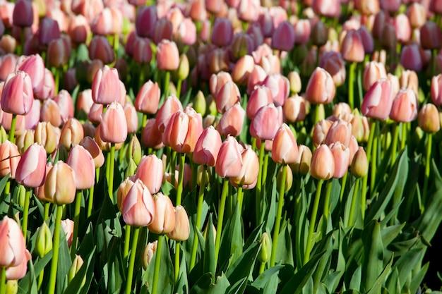 Grupa kolorowych tulipanów w ogrodzie wiosną. jasne kolorowe zdjęcie tulipana. niesamowita koncepcja wiosny i.
