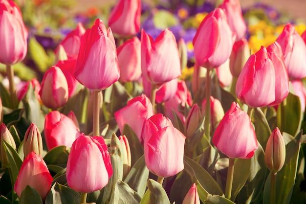 Grupa kolorowych tulipanów w ogrodzie wiosną.