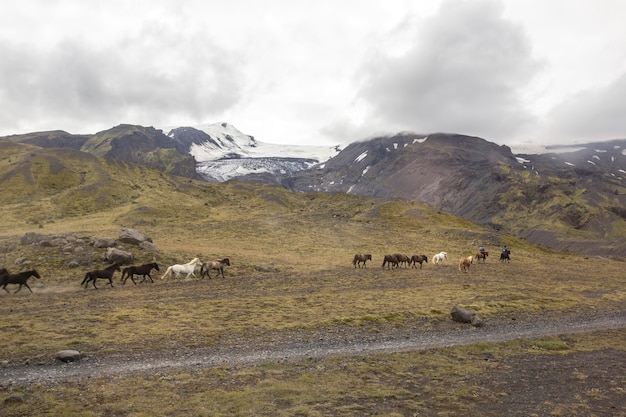 Grupa koni galopująca wokół landmannalaugar na islandii