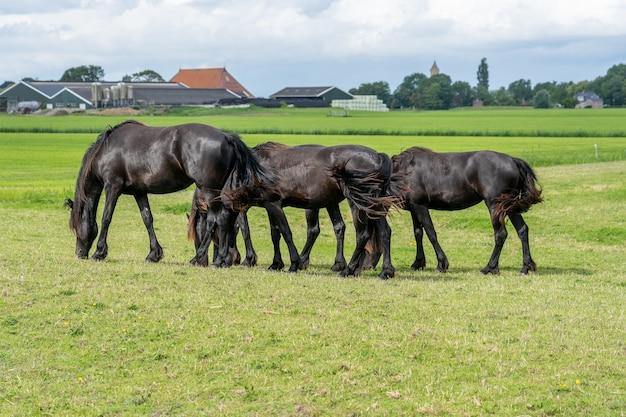 Grupa koni o tej samej postawie pasącej się, poruszających się synchronicznie po łące