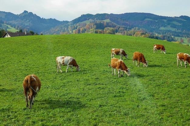 Grupa krów je trawę w gospodarstwie