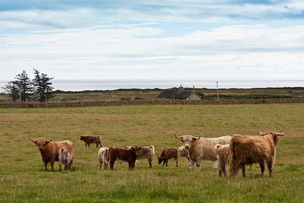 Grupa krów rasy angus z cielętami w szkocji