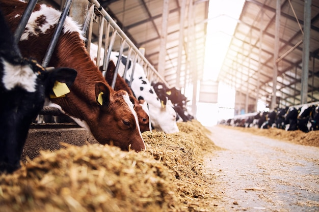 Grupa krów w oborze jedząca siano lub paszę na farmie mlecznej.