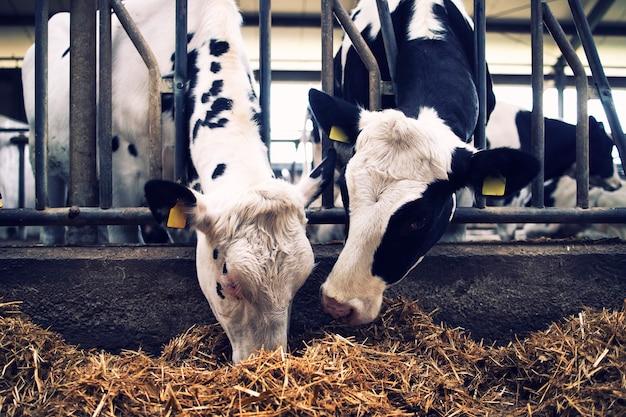 Grupa krów w oborze jedzące siano lub paszę na farmie mlecznej.