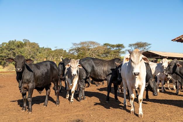 Grupa krów w oborze w przyrodzie
