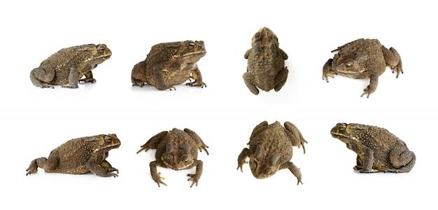 Grupa kumak (bufonidae) na białym tle. płaz. zwierzę.