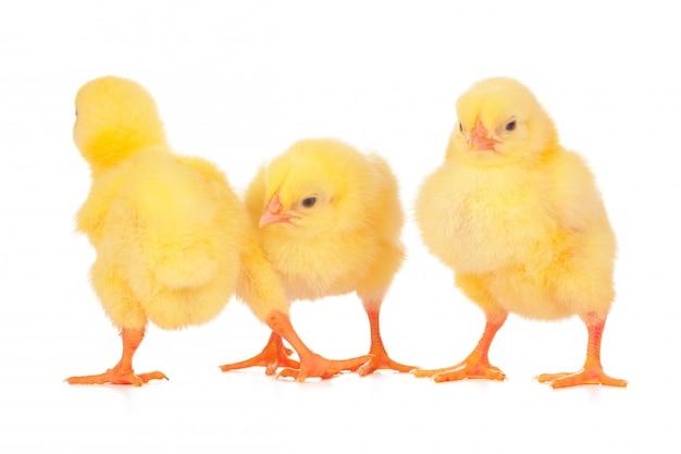 Grupa kurczaków na białym tle