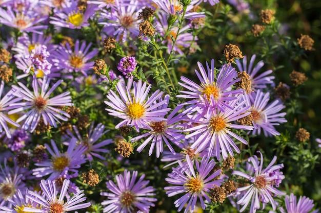 Grupa kwiatów lila astra