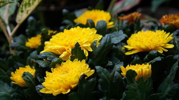 Grupa kwitnących żółtych kwiatów chryzantemy