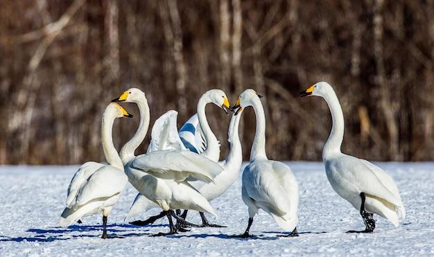 Grupa łabędzi na śniegu. japonia. hokkaido. tsurui.