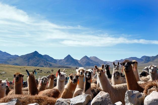 Grupa lam (lama glama) zgrupowana w zagrodzie przed wyruszeniem na wypas na wyżynach huancavelica.