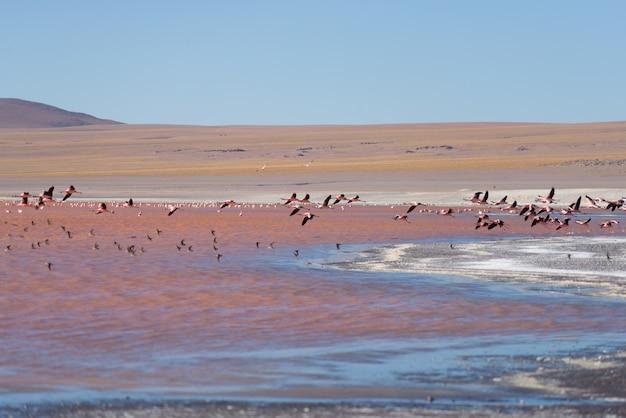 Grupa lata nad słonym jeziorem różowy flaming, boliwijskie andes