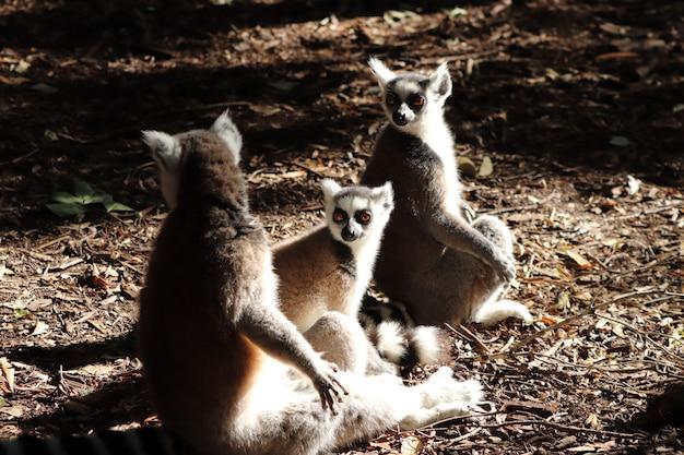 Grupa lemurów siedzi na błotnistej ziemi w środku lasu