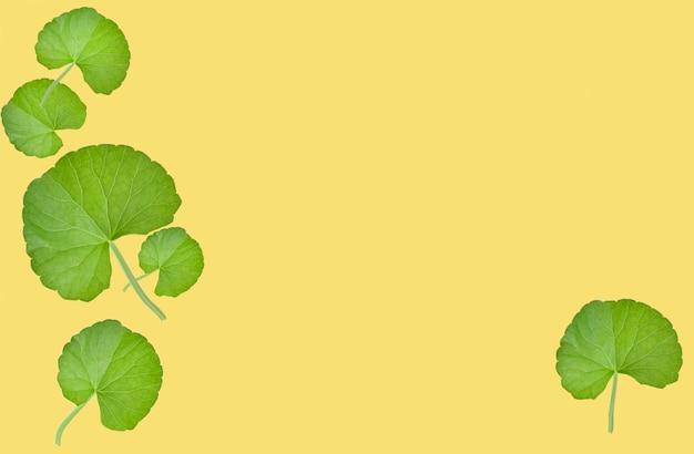 Grupa liści gotu kola (centella asiatica) na białym tle na żółtej powierzchni. (wątraszka azjatycka, wąkrota indyjska)
