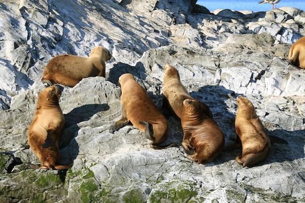 Grupa lwów morskich opalających się na skalistej wyspie kanału beagle, ushuaia, patagonia, argentyna