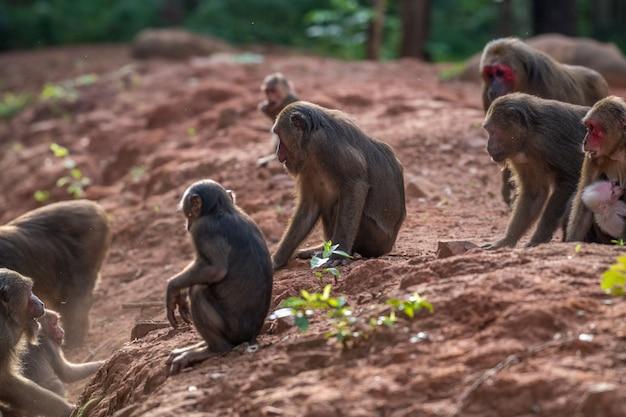 Grupa makak zwyczajny, makak niedźwiadkowy (macaca arctoides) jedzą i odpoczywają podczas spokojnego słonecznego wieczoru w prowincji phetchaburi, khao kapook khao tormoor, obszar nie polowania, tajlandia