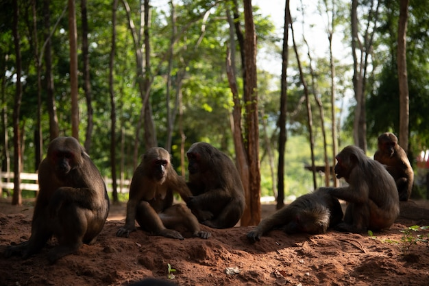 Grupa makaka ogoniastego, makaka niedźwiadkowego (macaca arctoides) odpoczywa podczas spokojnego słonecznego dnia w prowincji phetchaburi, khao kapook khao tormoor, obszar nie polowania, tajlandia