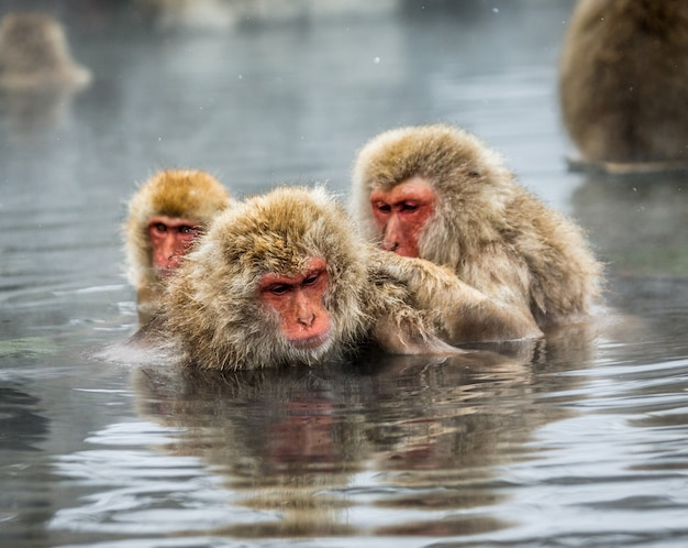 Grupa makaków japońskich siedzi w wodzie w gorącym źródle. japonia. nagano. jigokudani monkey park.