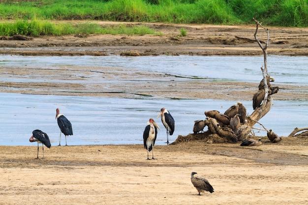 Grupa marabutów na brzegu. tanzanya, afryka