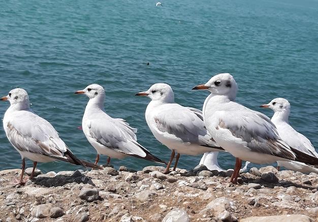 Grupa mew przysiadła na skalistej powierzchni w pobliżu morza
