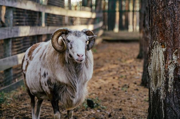 Grupa muflonów, ovis gmelini lub ovis orientalis idzie przez góry